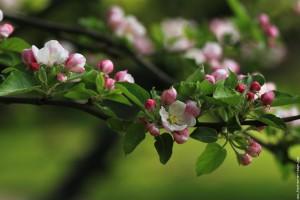 tn pommier en fleurs